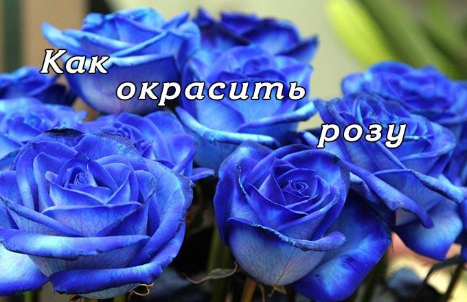 Необычные цветы. Как окрасить розу?
